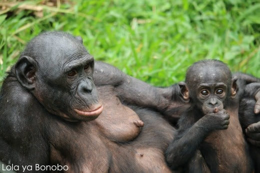 Saving Our Peaceful Cousin The Bonobo Rachels Network
