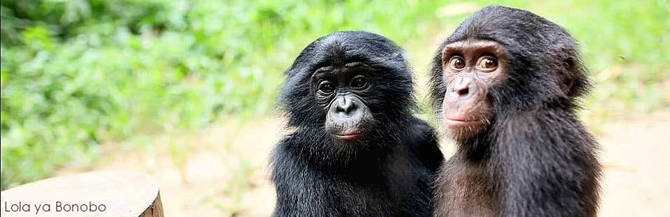 Saving Our Peaceful Cousin, the Bonobo
